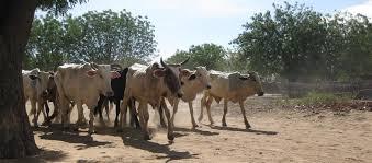 darfur cattle